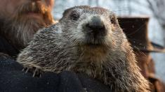 Punxsutawney Phil predicts 6 more weeks of winter after seeing his shadow
