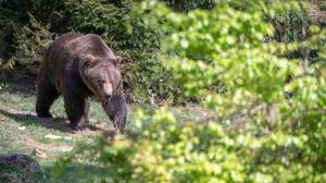 Grizzly bear kills hunter in 1st-of-its-kind attack in largest US national park