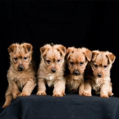 5 Things to Know About Australian Terriers