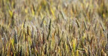 What Is a Genetically Modified Crop? A European Ruling Sows Confusion.