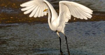 Photo: Great egret takes off like a boss