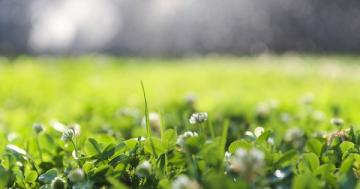 12 reasons to plant a clover lawn