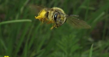 Photo: Pollen-spangled honeybee in flight