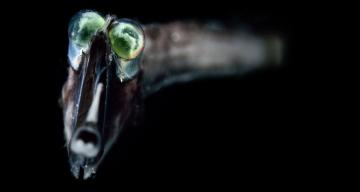 Deep-sea fishes' eye chemistry might let them see colors in near darkness