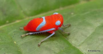 Photo: Tiny leafhopper nymph is a king of color
