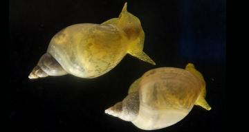 Tweaking one gene with CRISPR switched the way a snail shell spirals