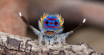Peacock spiders' superblack spots reflect just 0.5 percent of light