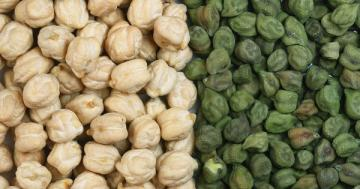 UK harvests its first crop of chickpeas