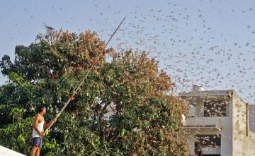 Punjab On Alert After Locusts Attack Crops In Rajasthan, Madhya Pradesh
