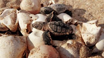 Florida men caught stealing 93 sea turtle eggs, report says