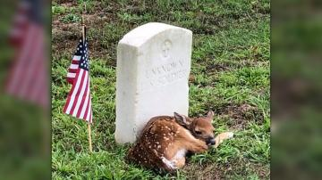 Fawn curls up at 'Unknown' soldier's headstone in Georgia cemetery, photo shows