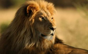 313 Lion Deaths In 2 Years In Gujarat: Minister Tells Assembly