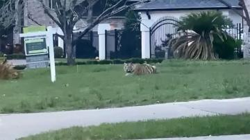 Man who fled police with tiger arrested after high-speed pursuit