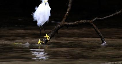 Photo: Snowy egret is the epitome of elegance