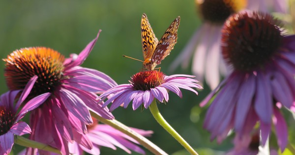 Photo: Aphrodite fritillary visits echinacea