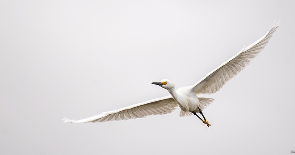 Photo: Snowy egret takes to the sky