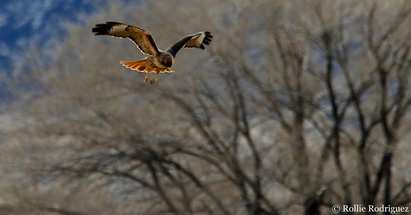 Photo: How the red-tailed hawk got its name